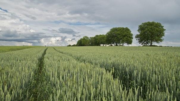 Uprawy rolne są wrażliwe na wiele ryzyk - warto je ubezpieczyć. Źródło: Pixabay.com.