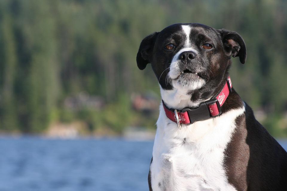 Psy często lubią jeziora, jeździć na nie - niekoniecznie. Źródło: Pixabay.com.